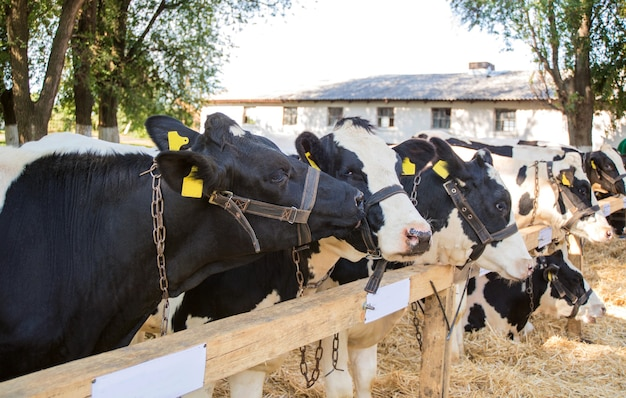 Vacas en una granja