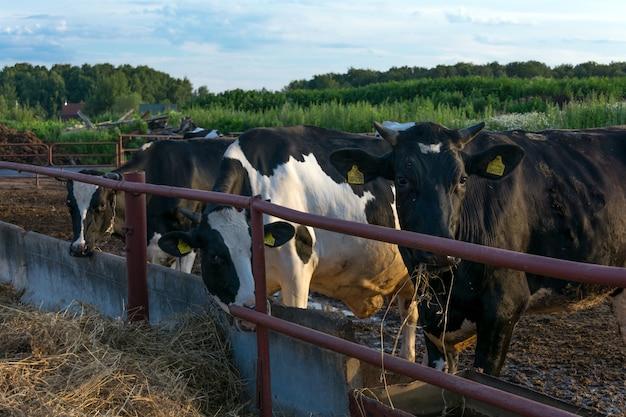 Vacas, en, lechería