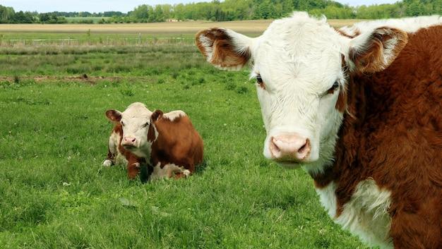 Vacas lindas marrones en la hierba en el campo