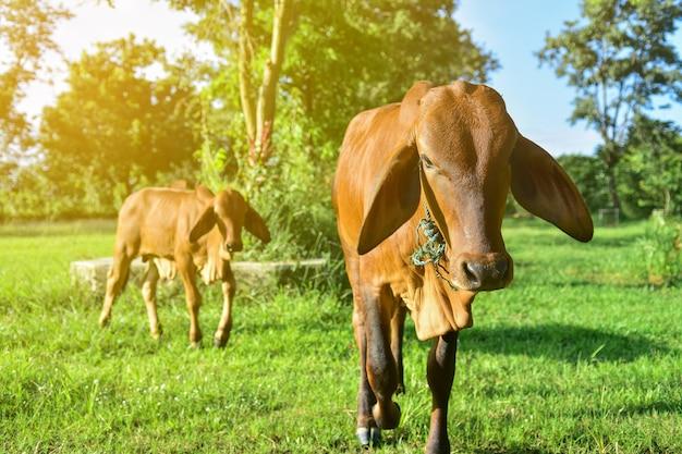 Vacas marrones en el campo en tailandia