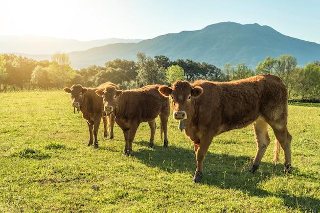 Vacas marrones en el campo verde
