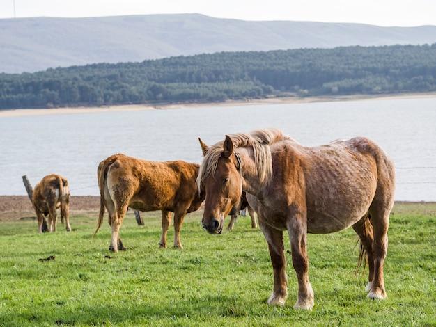 Vacas marrones en paisajes verdes de la hierba del prado en cantabria, españa