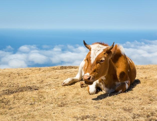 Vacas en las montañas