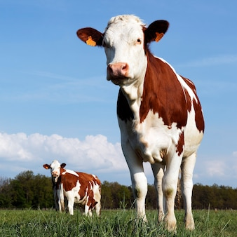 Vacas en el país francés