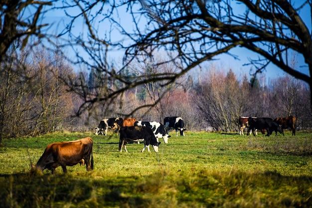 Las vacas pastan en las montañas