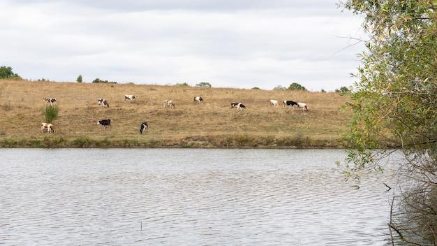 Las vacas pastan en otoño en un prado cerca de un lago