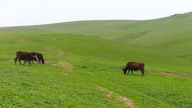 Vacas pastando en una colina verde