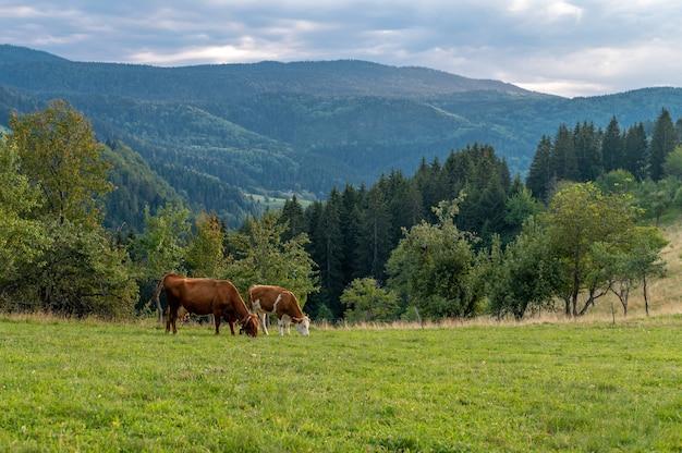 Vacas pastando en las colinas cubiertas de hierba cerca del bosque