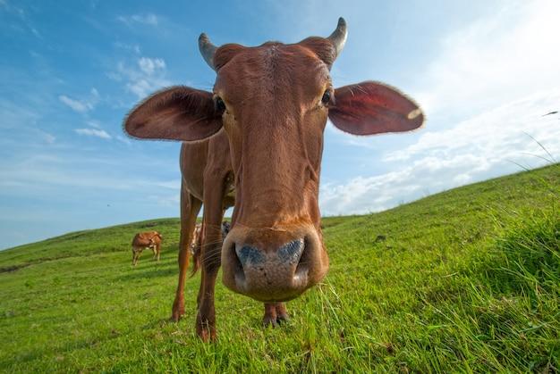 Vacas pastando en un exuberante campo de hierba