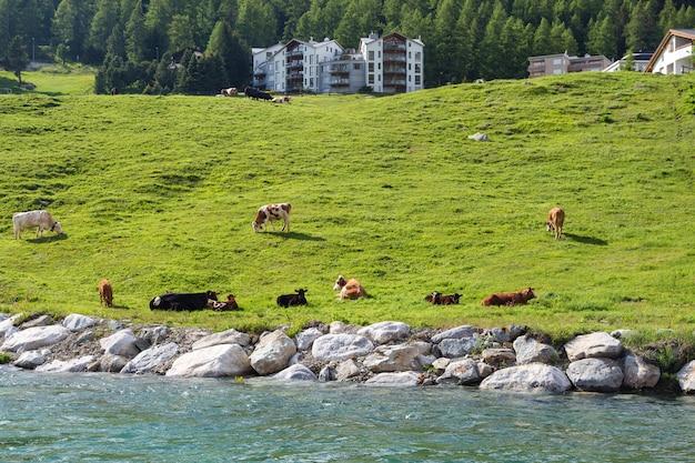 Vacas pastando hierba en pasto en suiza