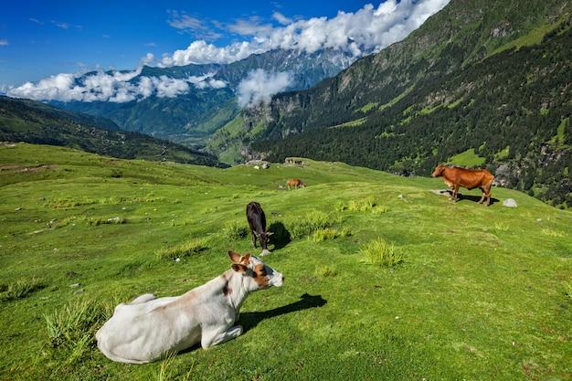 Vacas pastando en el himalaya