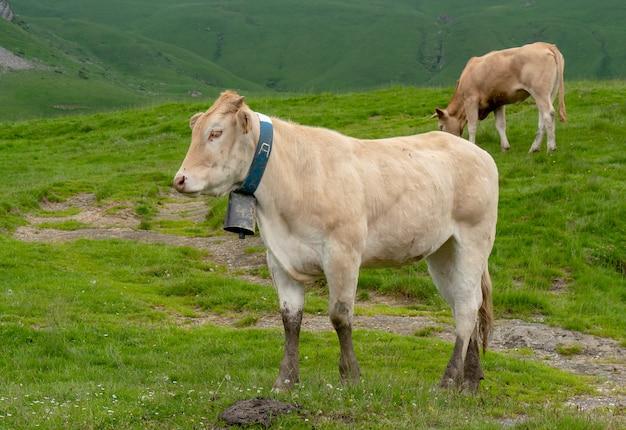Vacas pastando en pastos de los alpes