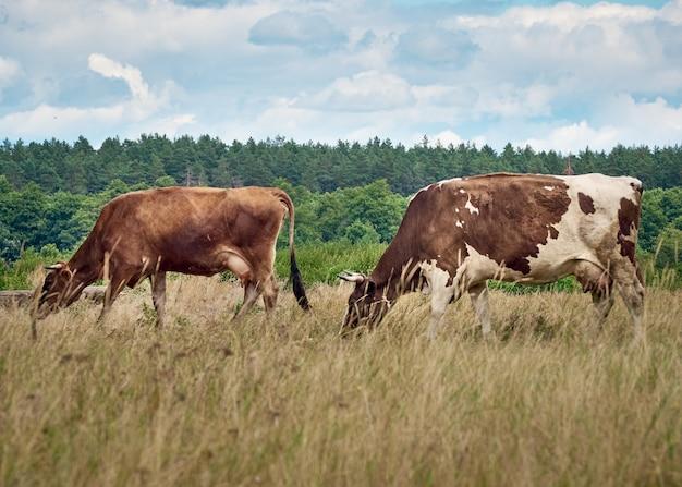 Vacas pastando en pastos