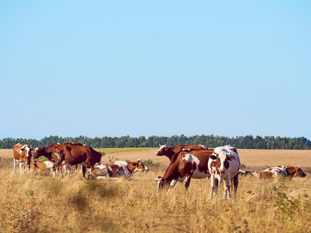 Vacas pastando en pastos.