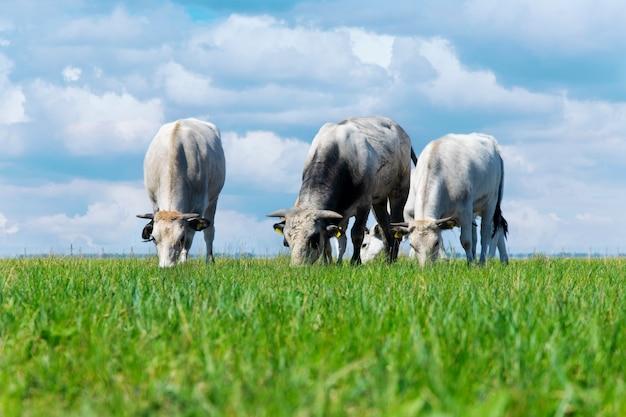 Vacas pastando en el prado