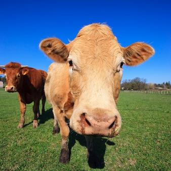 Vacas en pasto verde y cielo azul