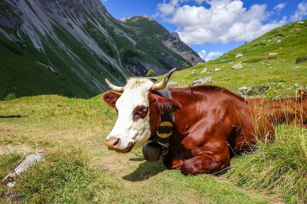 Vacas en pastos alpinos, pralognan la vanoise, alpes franceses