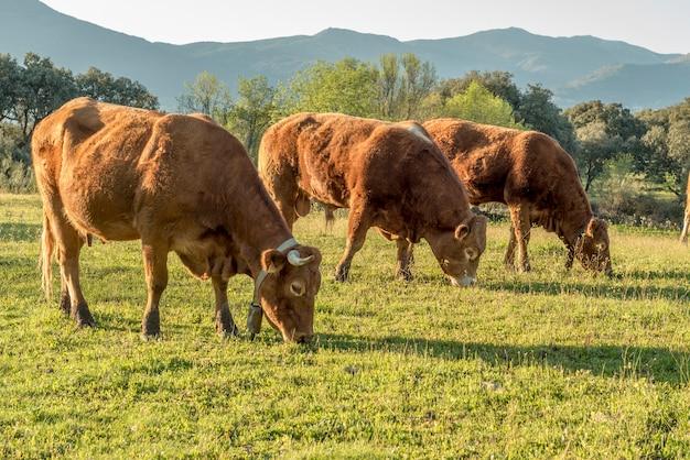 Vacas en primavera prado verde
