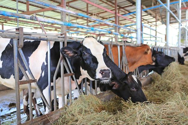 Vacas que comen el heno en la granja de tailandia del establo. vacas lecheras para la producción de leche.