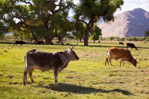 Vacas que pastan en las praderas de california
