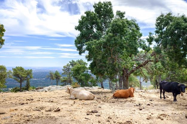 Vacas y toros pastando y descansando en un prado en la cima de una montaña española