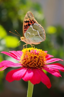 Vanessa cardui mariposa en la flor zinnia