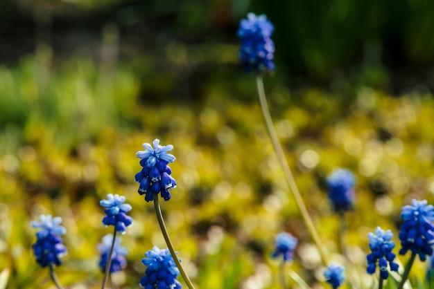 Varias campanillas azules hermosas en el fondo soleado de la vegetación.