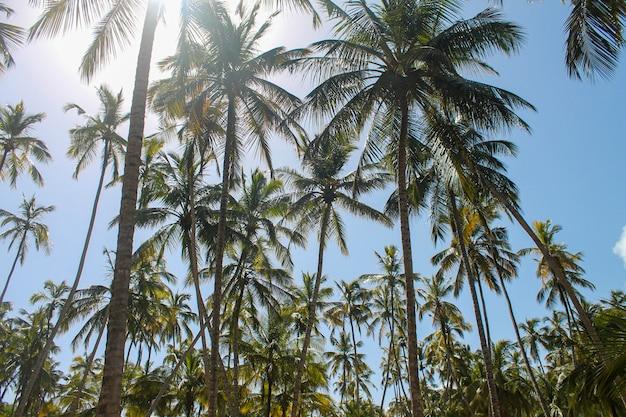 Varias palmeras a orillas del mar.
