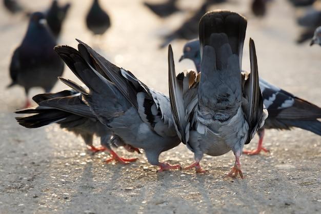 Varias palomas están sentadas en el pavimento y comiendo semillas.