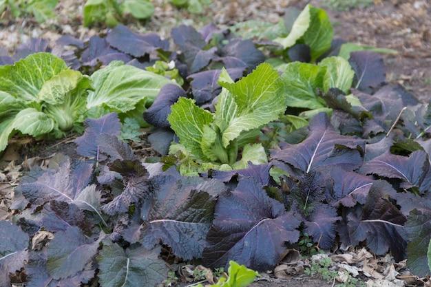 Variedad de plantas de mostaza cultivadas en el huerto orgánico.