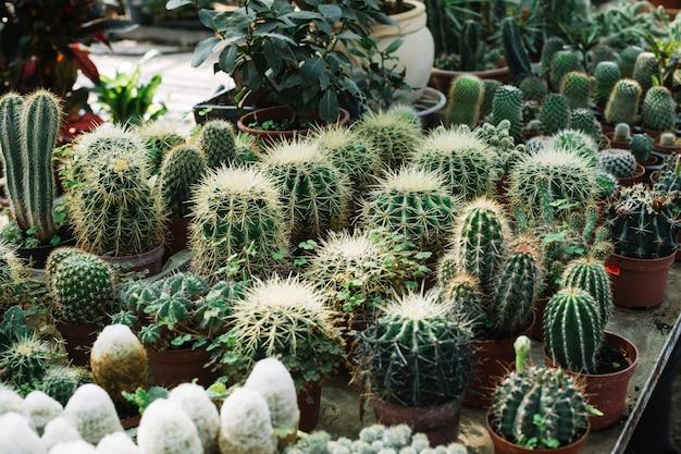 Variedades de cactus espinoso en invernadero.