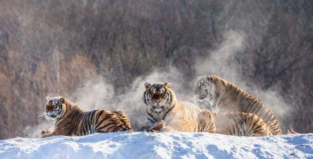 Varios tigres siberianos en una colina nevada con el telón de fondo de los árboles de invierno. parque del tigre siberiano.