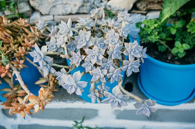 Varios tipos de suculentas, en grandes macetas de cerámica azul en la parte superior del tanque, vista superior del grupo suculento, primer plano de hojas secas borrosas en el fondo de la calle