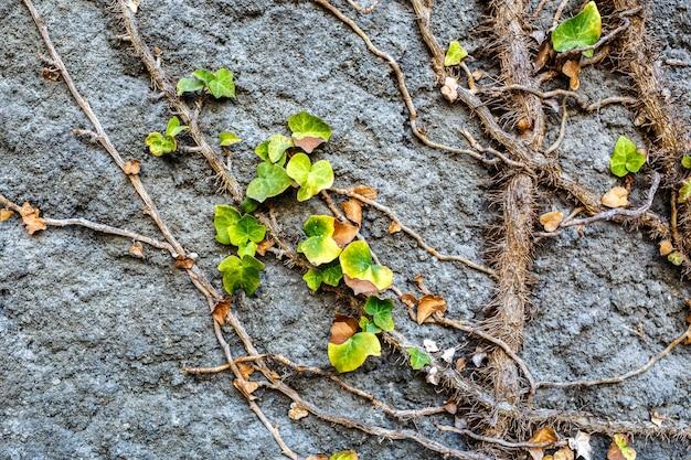 Vegetación cubierta de muro de piedra antigua