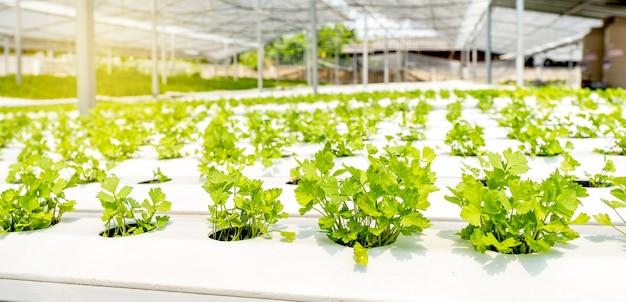 Vegetales de apio en la granja del jardín hidropónico, cultivo de agricultura orgánica saludable.