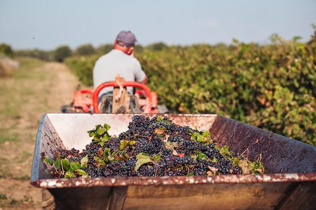 Vendimia estacional de uvas primitivo en la viña