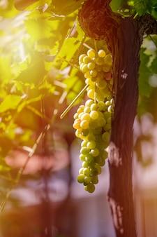 Vendimia de uvas verdes y azules. campos viñedos maduran uvas para vino