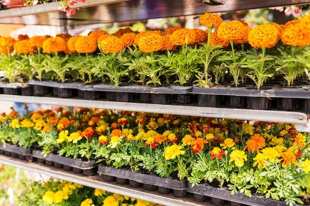 Venta de flores de jardín en la tienda. estanterías con macetas
