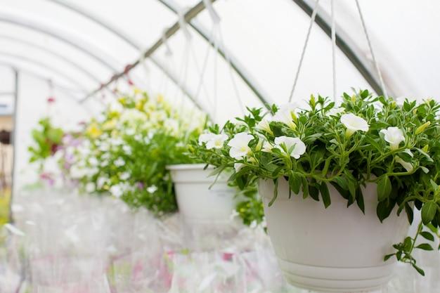 Venta de petunias multicolores que se cultivan en invernadero. de cerca