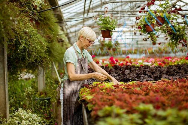 Ver a la guapa mujer mayor que trabaja con flores de primavera en greengarden