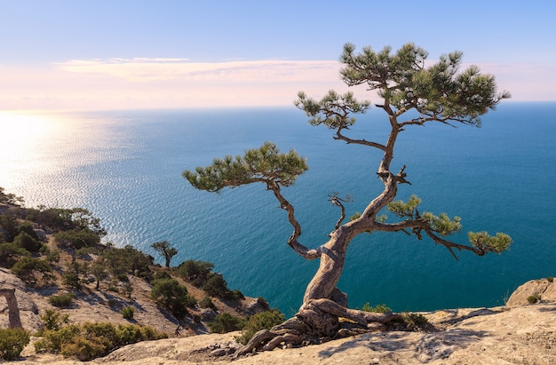 Ver en el mar negro al amanecer. el pino sobre la roca está iluminado por los rayos del sol. nuevo mundo (novy svet). crimea