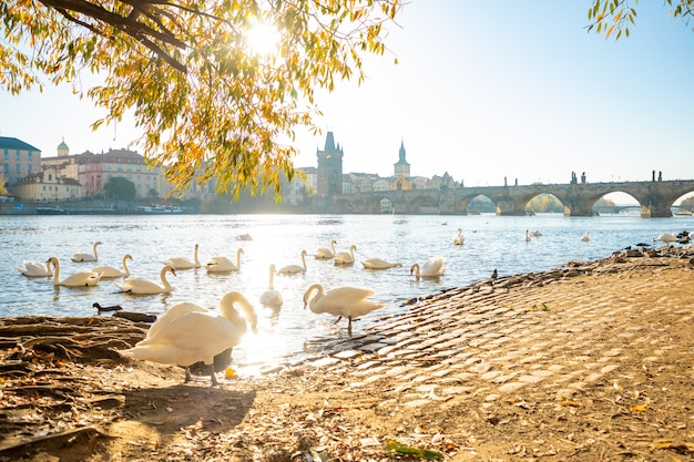 Ver en el puente de carlos y cisnes en el río vltava en praga al amanecer, república checa