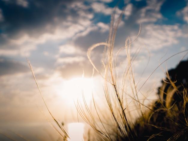 Verano. pluma de hierba al atardecer. hermosa foto de verano para imprimir en lienzo. anapa, pueblo de sukko