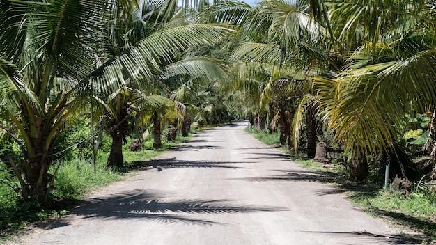 Verano tropical, jardín de palmeras de coco con camino de tierra.