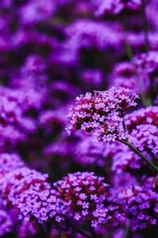 Verbena es floreciente y hermosa en la temporada de lluvias.