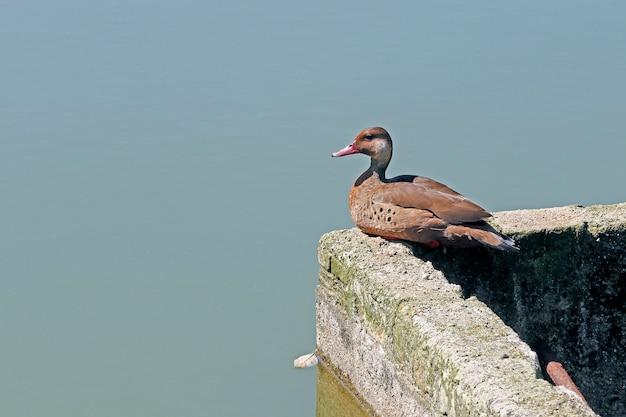 Verde azulado brasileño descansando en la pared del foso de la orilla del lago