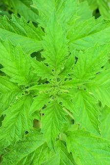 Verde natural de hojas de sésamo