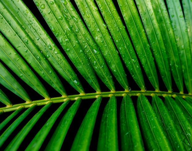 Verde tropical deja la palma amarilla con gota de agua aislada sobre fondo negro
