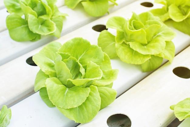 Verduras de cabeza de mantequilla verde plantadas por plantación hidropónica