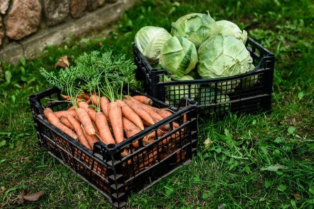 Verduras crudas frescas en el jardín. zanahorias maduras en la canasta y repollo.